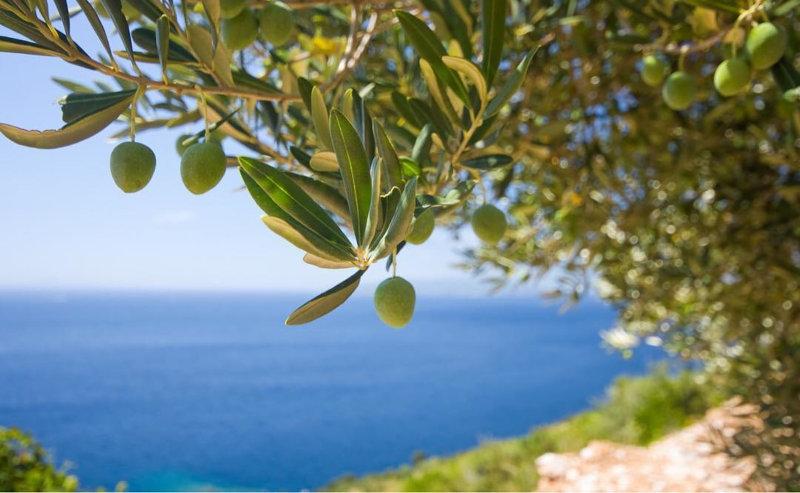 エーゲ海沿岸で生産されたオリーブオイル