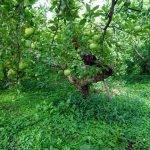 小布施町カネト園りんご畑