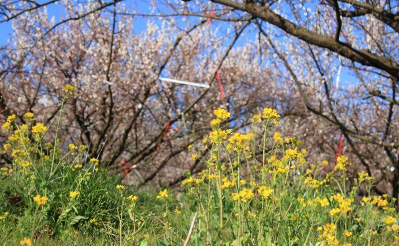 たまなの梅酢自然栽培