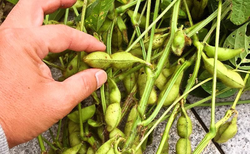 丹波篠山産黒枝豆