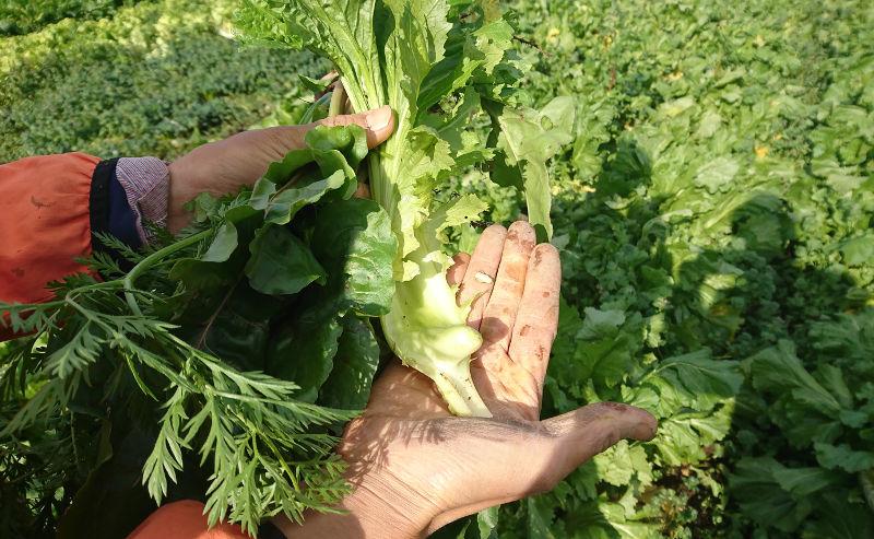 かたつむり農園雲仙こぶ高菜