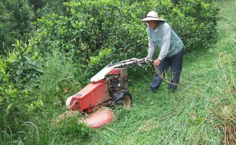 草倒し農法で健康なみかんの木に