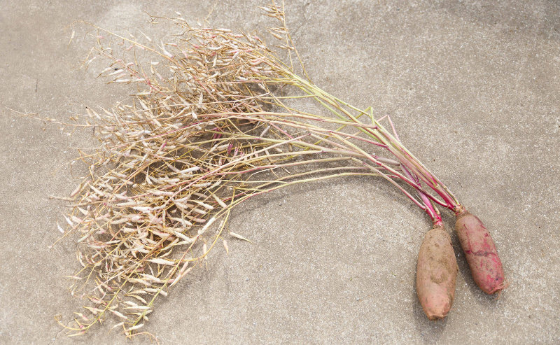 消え行く在来種の野菜