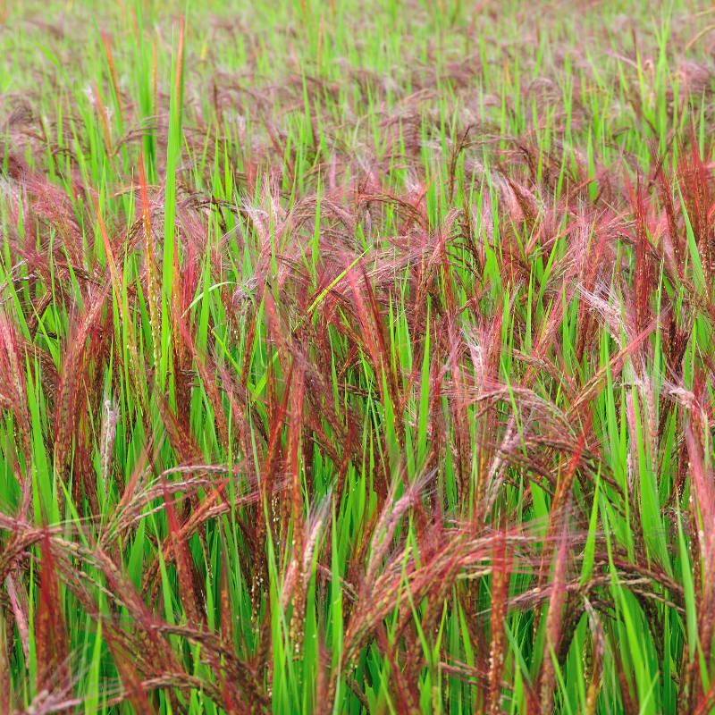 稀少な古代米赤米