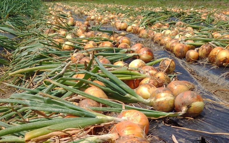 竹田かたつむり農園玉ねぎ豊作