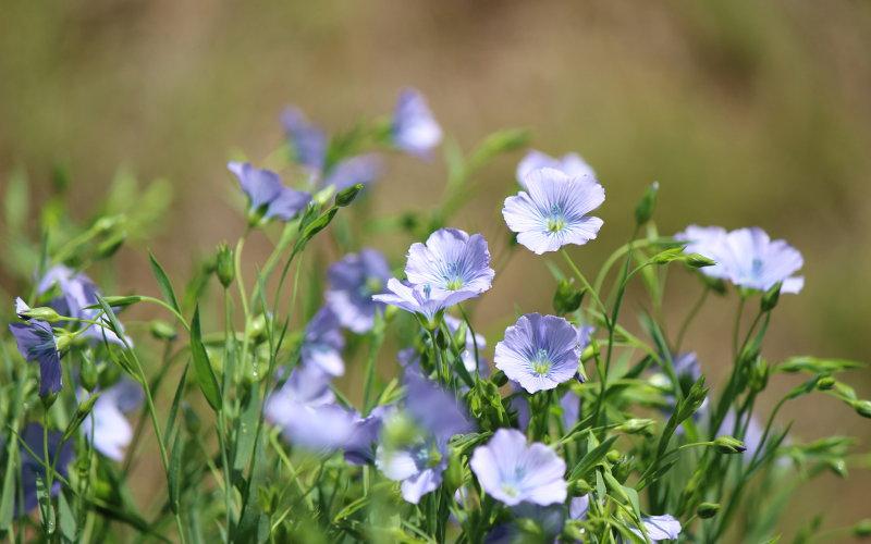 北海道亜麻の花