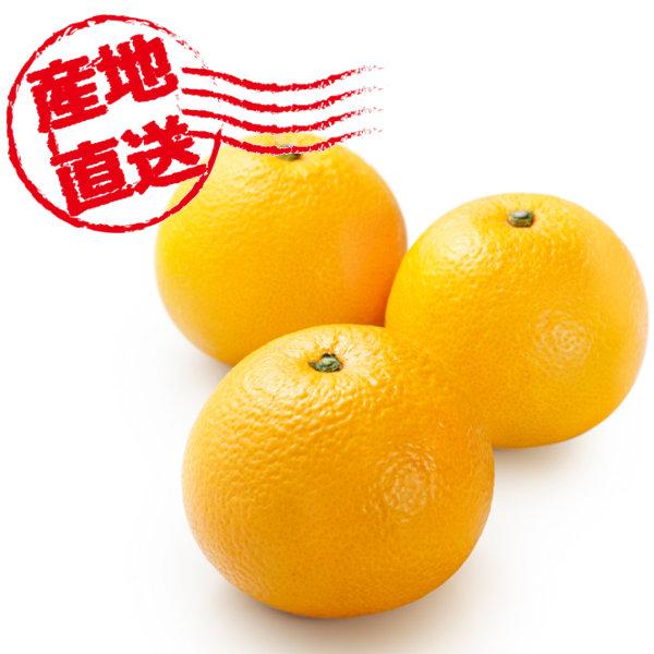 和歌山県産 片山さんの木成り完熟八朔