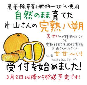 和歌山県産 片山さんの木成り完熟八朔受付開始