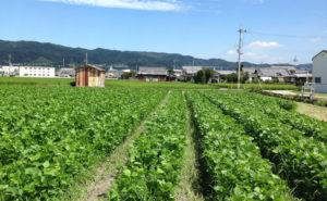 久保さんの大豆畑
