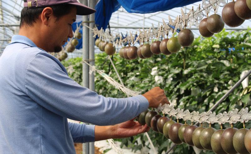 パッションフルーツ栽培