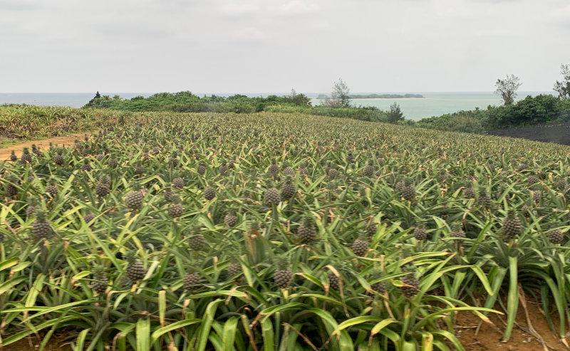 ぼくせいさんのパイナップル畑