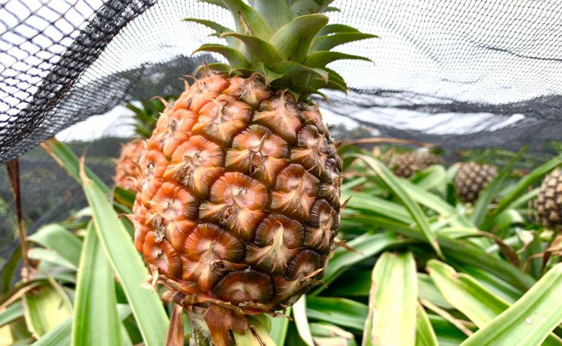 美味しいパイナップルを育てるために大切なことは「平均気温」「土壌」「収穫のタイミング」