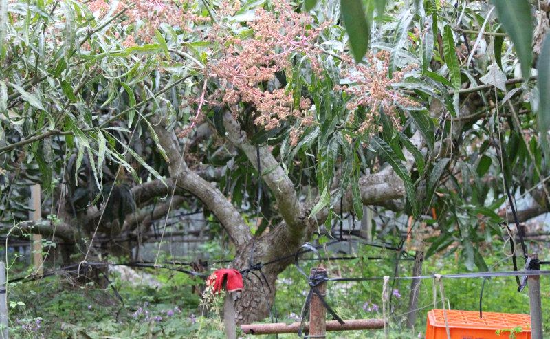 樹齢50年のマンゴーの超古木