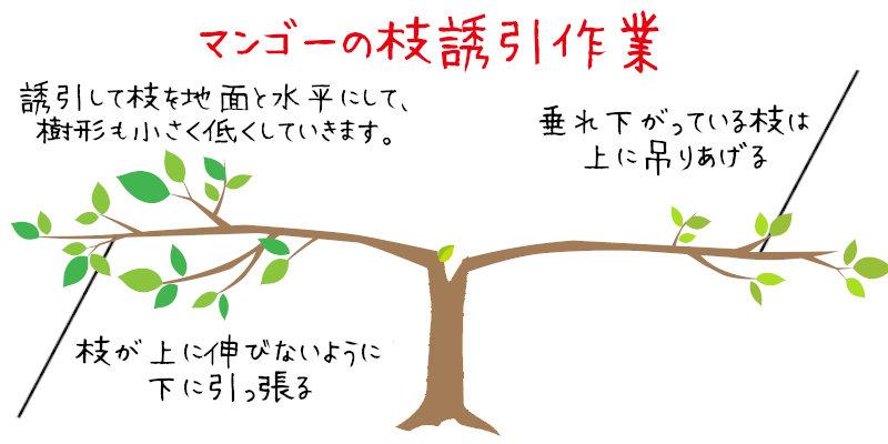 マンゴーの枝誘引作業