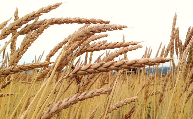 いまなぜスペルト小麦なの?