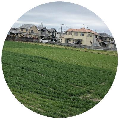 生育中のスペルト小麦