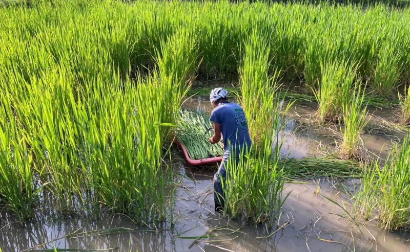 マコモタケ収穫作業中