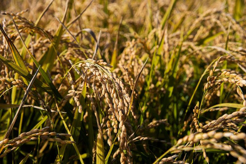 たかしま農場の有機米