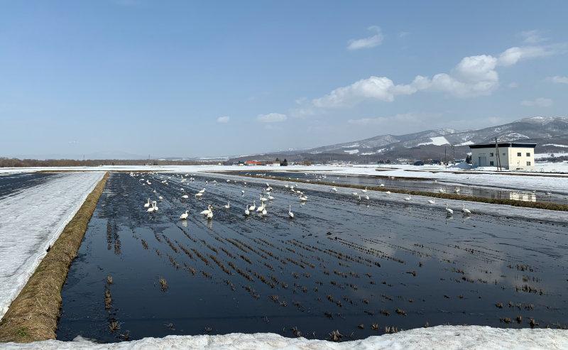 冬には白鳥がやってきます